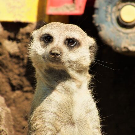 animal, meerkat, wild animal, Fujifilm FinePix HS25EXR