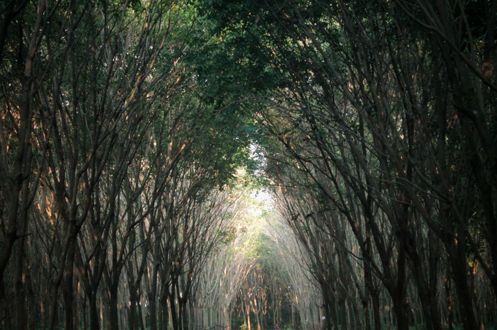"""Canon EOS 1100D (EOS Rebel T3 / EOS Kiss X50) sample photo. """"Indonesian, the tree, bandung"""" photography"""