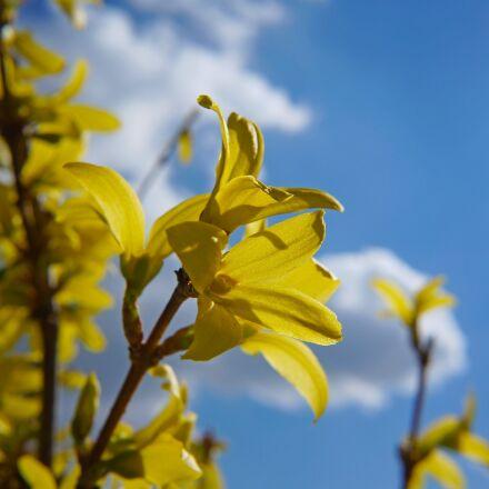 laburnum, spring, nature, Sony ILCE-3000