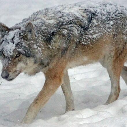 wolf, predator, carnivores, Sony ILCA-77M2
