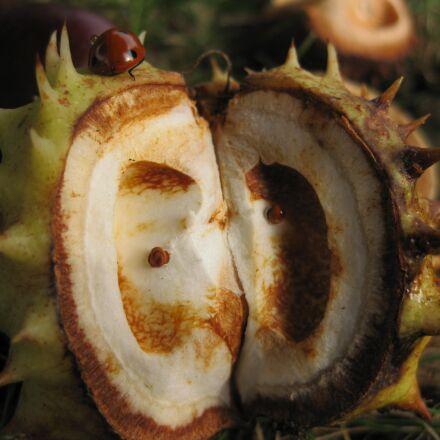 chestnut, autumn, spur, Canon DIGITAL IXUS 85 IS