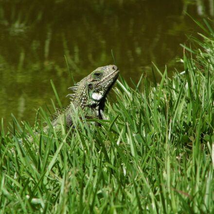 iguana, nature, reptile, Panasonic DMC-LZ20