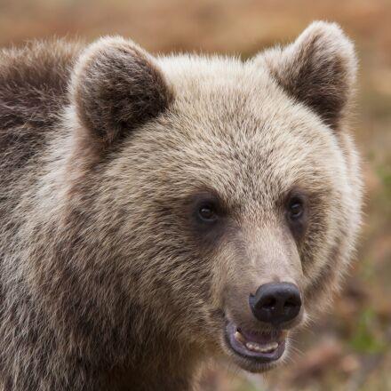 bear, puppy, small, Canon EOS 50D