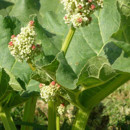 rhubarb, rheum rhaponticum, flower, Panasonic DMC-FS3