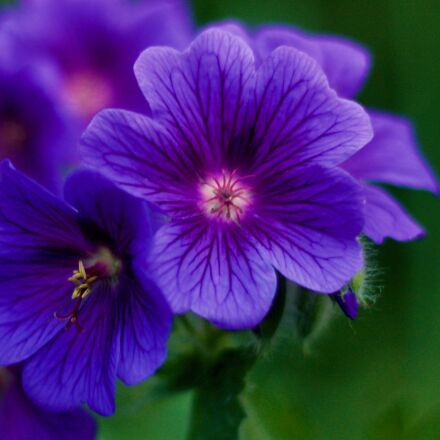 purple, flower, garden, Canon EOS 1100D