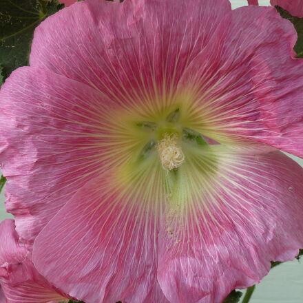 flower, hollyhock, pink, flower, Panasonic DMC-ZS3