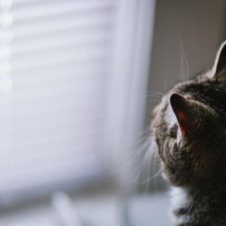 animal, cat, window, Canon EOS 5D MARK II
