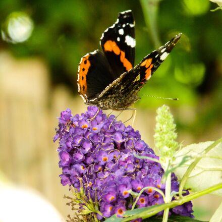 nature, insect, butterfly, Panasonic DMC-FZ38
