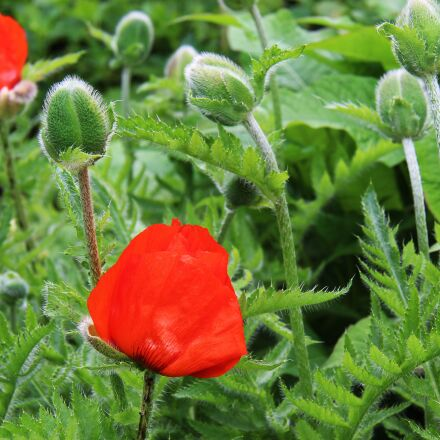 poppy, flower, nature, Canon EOS 700D