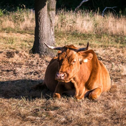 cow, beef, concerns, Samsung NX300M