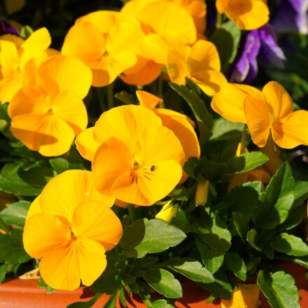 pansy, yellow, flowers, Sony SLT-A99V