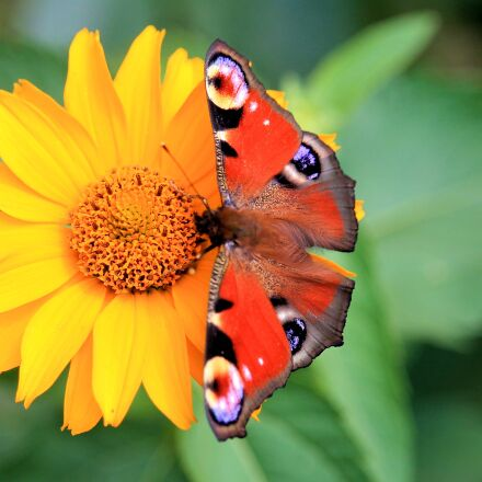 peacock butterfly, butterfly, nature, Canon EOS 1100D