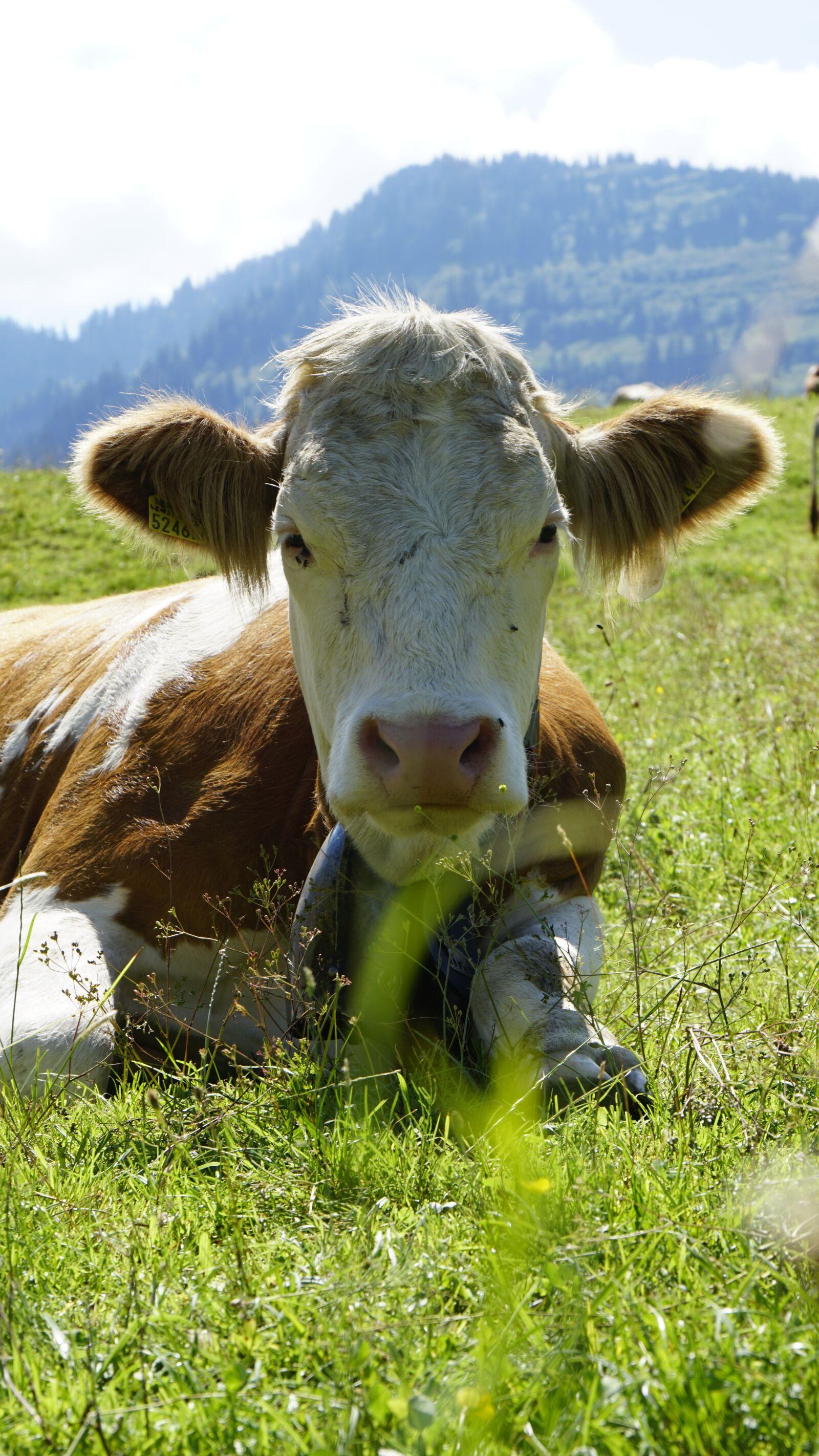 "Sony a6300 sample photo. ""Cow, mammal, animal"" photography"