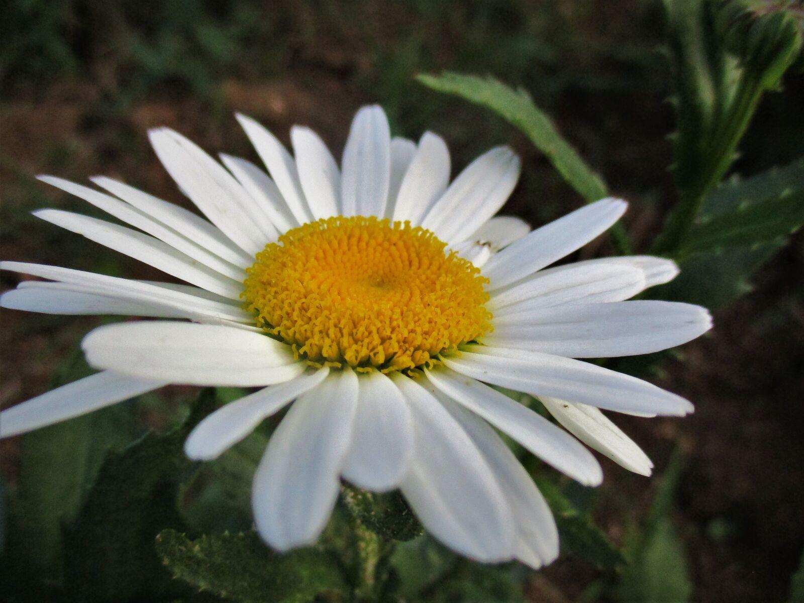 daisy, flower, spring