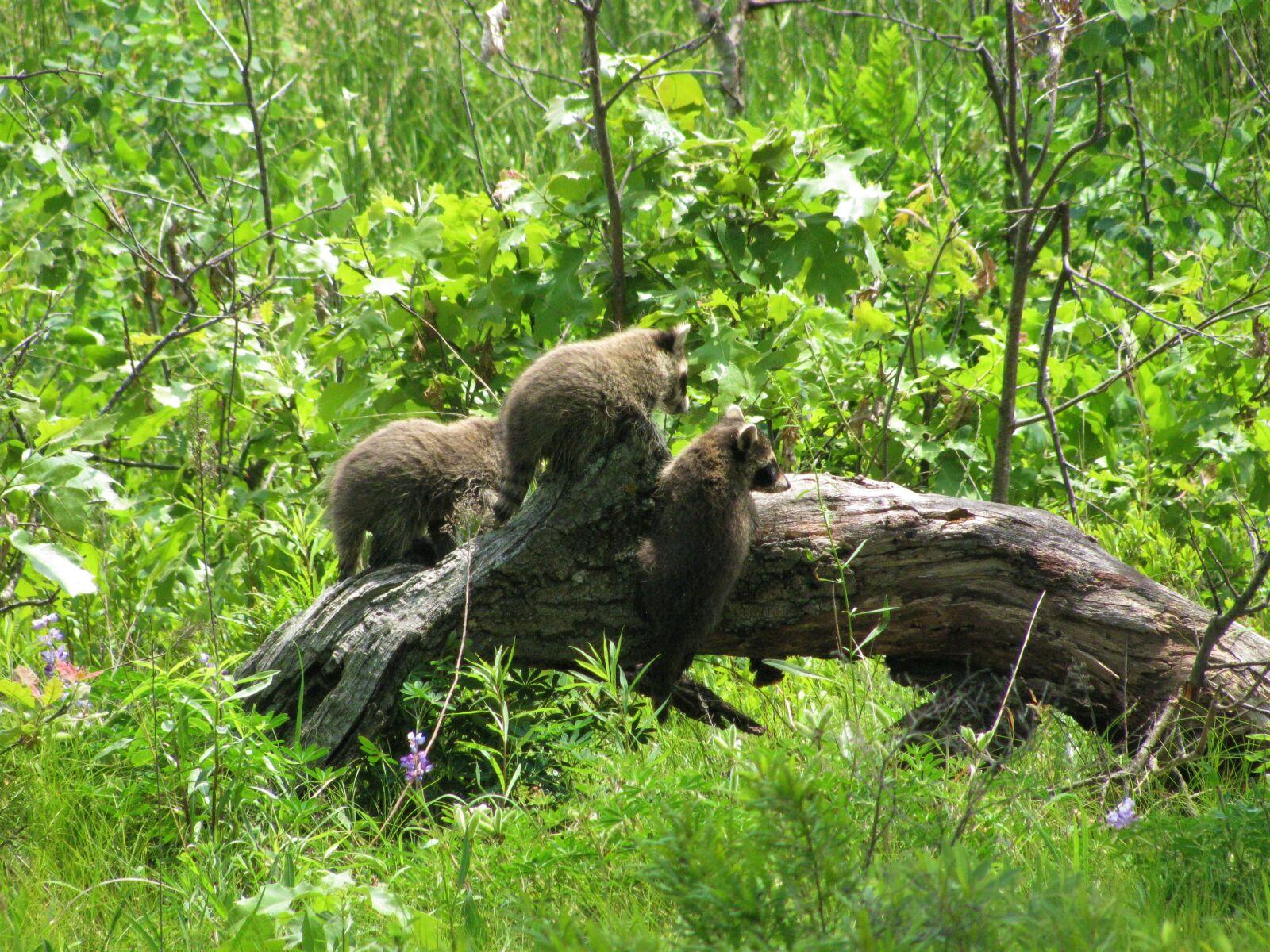"Canon PowerShot SX110 IS sample photo. ""Baby, baby raccoons, raccoons"" photography"