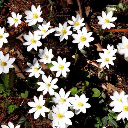 flowers, anemones, white, Fujifilm FinePix S3400