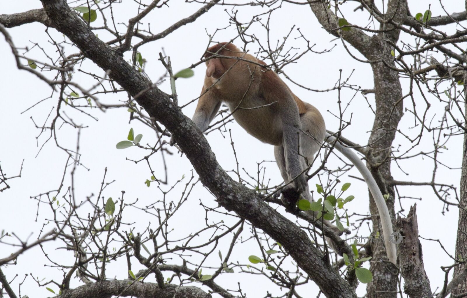 "Canon EOS 60D sample photo. ""Proboscis monkey, monkey, borneo"" photography"