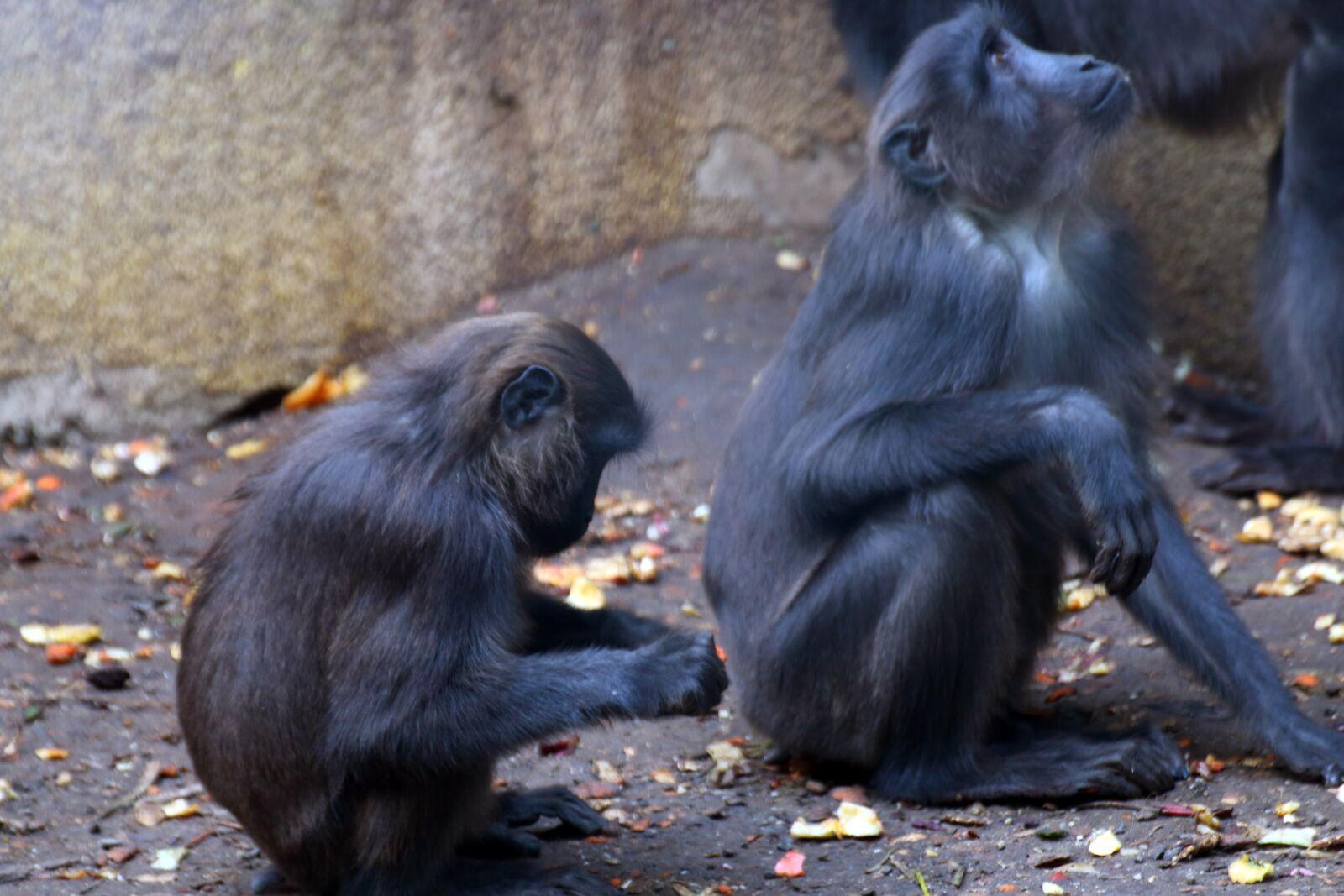 """Canon EOS 70D sample photo. """"Moor, macaque, mammal"""" photography"""