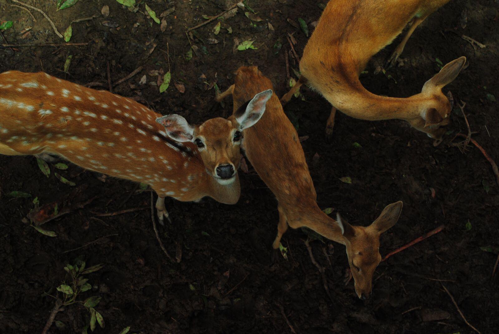 """Nikon D3000 sample photo. """"Deer, nature, wildlife"""" photography"""