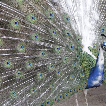 peacock, animals, bird, Canon EOS 1200D