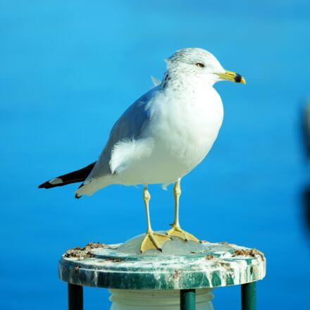 seagull, bird, gull, Samsung NX1