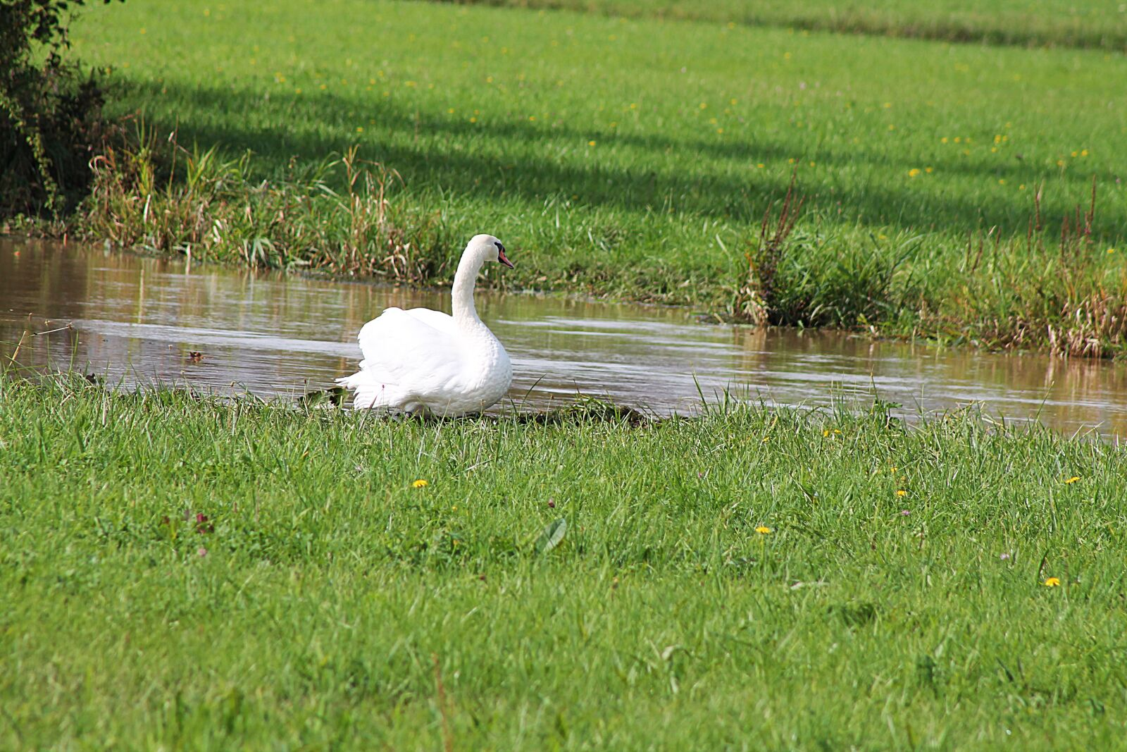"Canon EOS 1100D (EOS Rebel T3 / EOS Kiss X50) sample photo. ""Swan, bird, feather"" photography"
