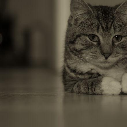 cat, chestnut, kitty, pet, Canon EOS 5D MARK II