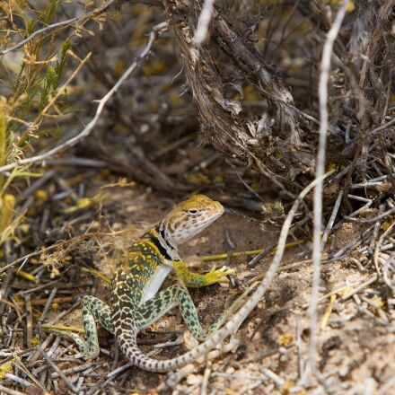 collared lizard, reptile, portrait, Canon EOS 7D