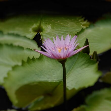 garden, green, leaves, lotus, Nikon COOLPIX A300