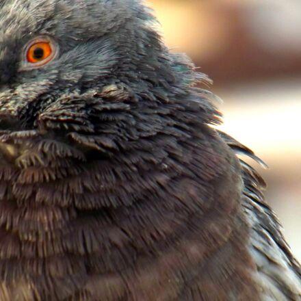pigeon, bird, animal, Fujifilm FinePix S2980