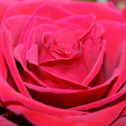 rose, pink, pink rose, Canon EOS REBEL T3