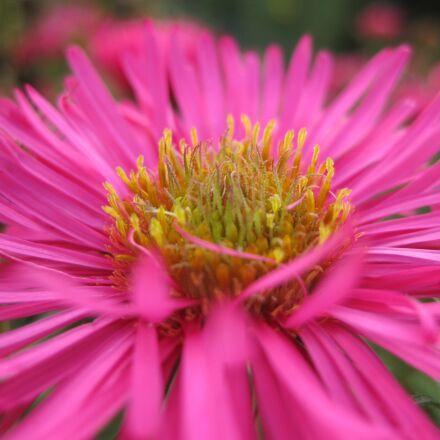 herbstaster, flower, blossom, Canon DIGITAL IXUS 85 IS