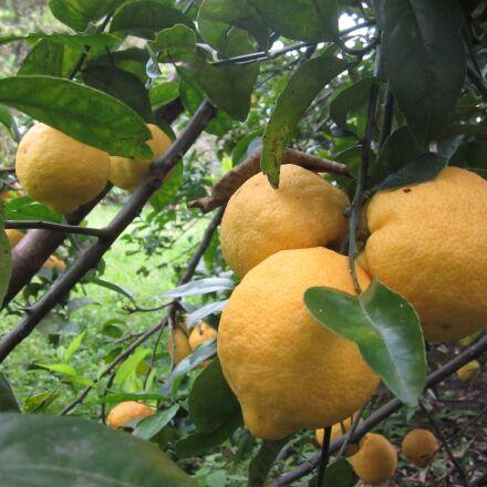 lemon, tree, fruit, Canon POWERSHOT ELPH 100 HS