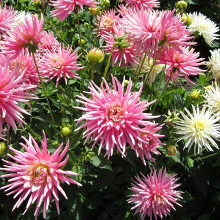 flower, pink, white, Canon POWERSHOT ELPH 100 HS