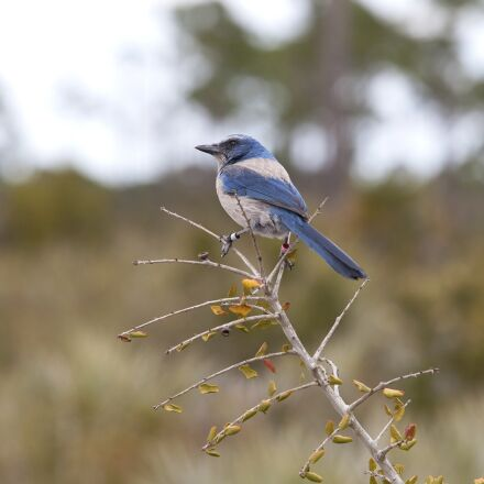 florida scrub jay, bird, Canon EOS 5D MARK II