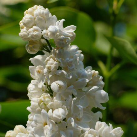 lilac, white lilac, white, Fujifilm X-T20