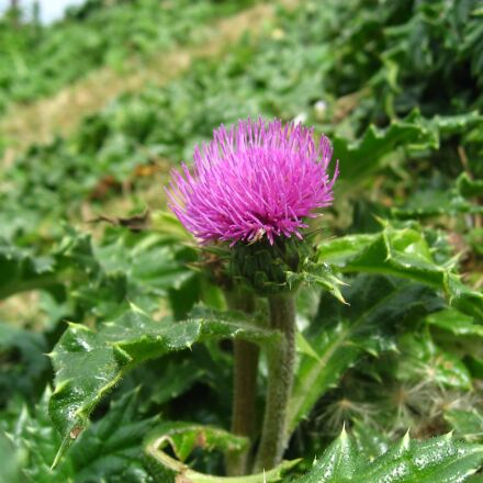 thistle, red purple, pink, Canon IXY DIGITAL 800 IS