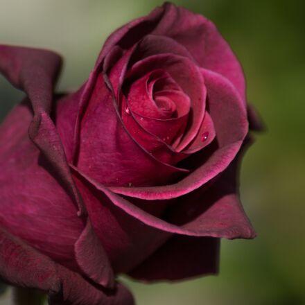 flower, pink, petals, Pentax K10D