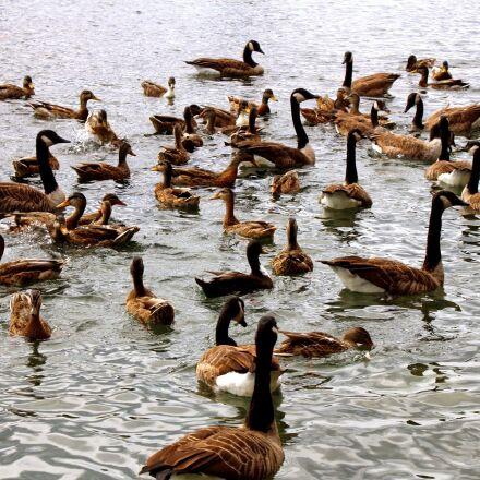 ducks, feeding, geese, lake, Canon EOS REBEL T4I