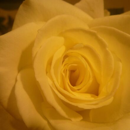 yellow, rose, flower, petal, Panasonic DMC-TS2