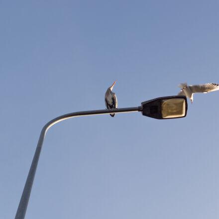 bird, birds, city, flying, Sony SLT-A58