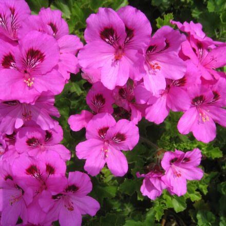 bae largo nyumu, pink, Canon IXY DIGITAL 910 IS