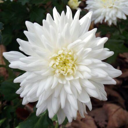 chrysanthemum, flower, white, Fujifilm FinePix S2980