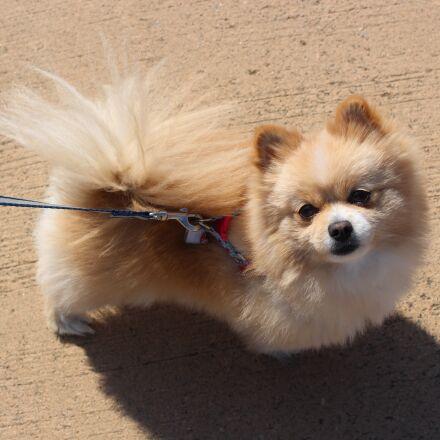 puppy, pomeranian, pet dogs, Canon EOS 100D