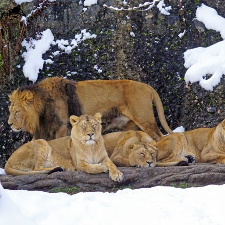 lion, pride of lions, Sony ILCA-77M2