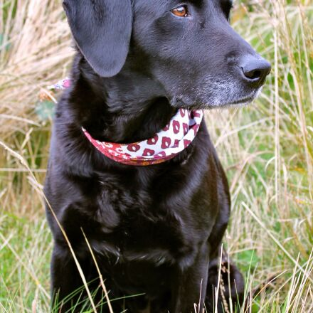 labrador, dog, pet, Canon EOS 1100D