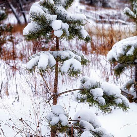snow, pine, lonely, Pentax K-500