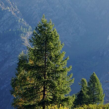 tree, larch, mountains, Sony SLT-A77