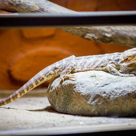 reptile, lizard, creature, Canon EOS 6D