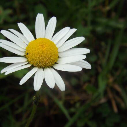 margaret, flower, nature, Fujifilm FinePix S4500
